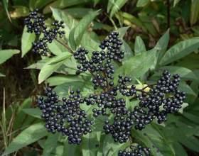 Бузина чорна: лікувальні властивості і протипоказання, народні рецепти фото
