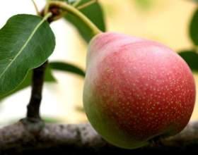 Чим корисна груша? Скільки калорій в груші? фото
