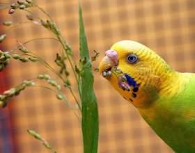 Імена для папуг хлопчиків фото