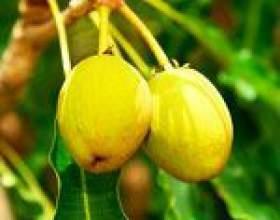 Масло ши: користь і властивості, масло ши для шкіри і волосся, застосування масла дерева ши фото