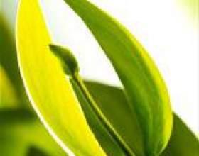 Масло жожоба: властивості, масло жожоба для обличчя, волосся, від зморшок і розтяжок, застосування олії жожоба фото