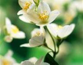 Ефірна олія жасмину: склад і властивості, застосування жасминового масла фото
