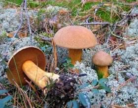 Як готувати моховики гриби? Як маринувати гриби моховики? фото
