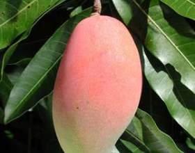 Як посадити манго? Як виростити манго з кісточки? фото