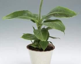 Як виростити банан з кісточки? фото
