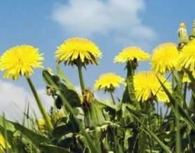 """Лікувальні властивості квітів кульбаби: застосування в народній медицині С""""РѕС'Рѕ"""