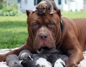 Ознаки вагітності у собаки: на ранніх і пізніх термінах фото