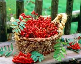 Горобина: корисні властивості рослини і протипоказання до його застосування фото