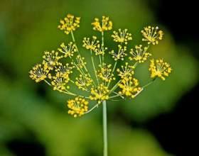 """Насіння кропу: корисні властивості та застосування. Лікування насінням кропу в народній медицині С""""РѕС'Рѕ"""