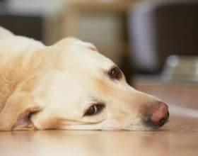 У собаки понос з кров`ю: що робити, де шукати причини, яким буде лікування? фото