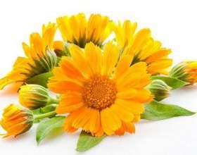 Чарівна рослина календула для боротьби з прищами фото