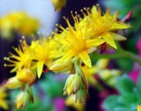 Золотий корінь. Родіола рожева: властивості і застосування фото